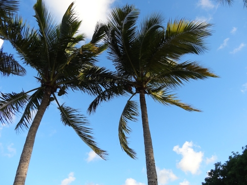 Palm trees taken by me on a vacation to Miami, FL in 2015.